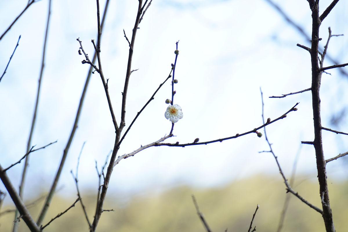 お正月に梅の花・長崎